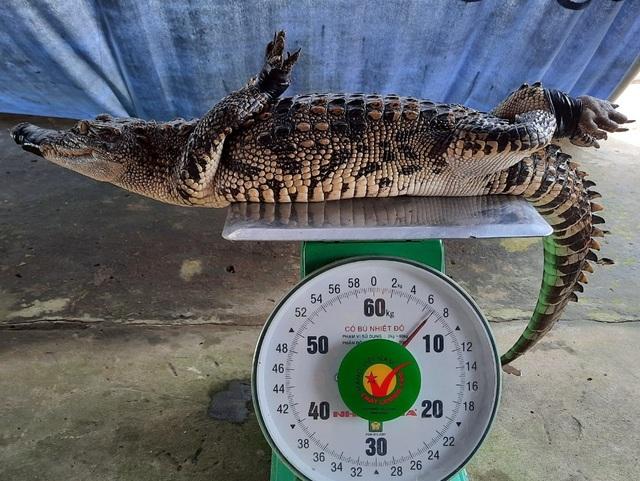 Đi thăm lưới, tá hỏa phát hiện cá sấu ngoài ruộng - 1