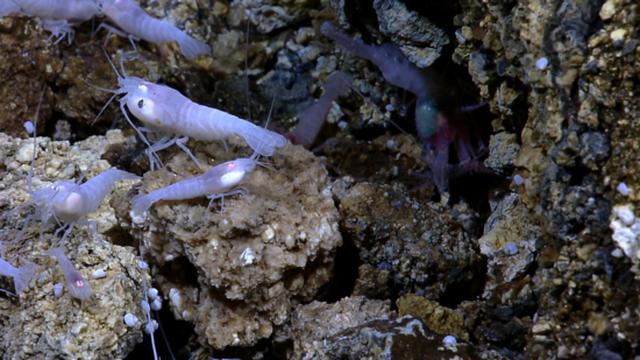 Loài tôm bất tử luộc không chết, có thể tồn tại ở môi trường 450 độ C - 4