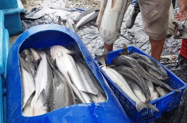 Ồ ạt bán cá bớp trên Vịnh Vân Phong sau bão số 12 vì sợ cá chết - 7