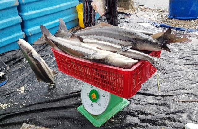 Ồ ạt bán cá bớp trên Vịnh Vân Phong sau bão số 12 vì sợ cá chết - 3