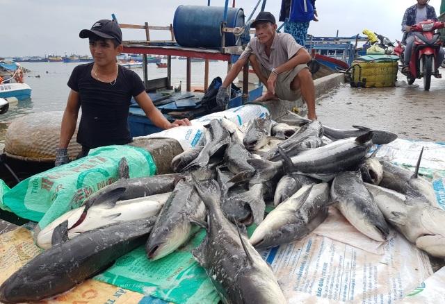 Ồ ạt bán cá bớp trên Vịnh Vân Phong sau bão số 12 vì sợ cá chết - 1