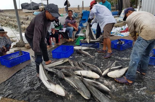 Ồ ạt bán cá bớp trên Vịnh Vân Phong sau bão số 12 vì sợ cá chết - 6