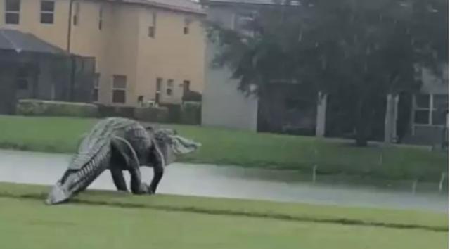 Cá sấu khổng lồ sừng sững đi dạo... sân golf ở Mỹ - 2