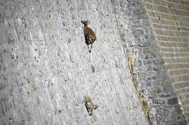 Loài dê có khả năng leo núi thách thức trọng lực kì lạ nhất thế giới - 1