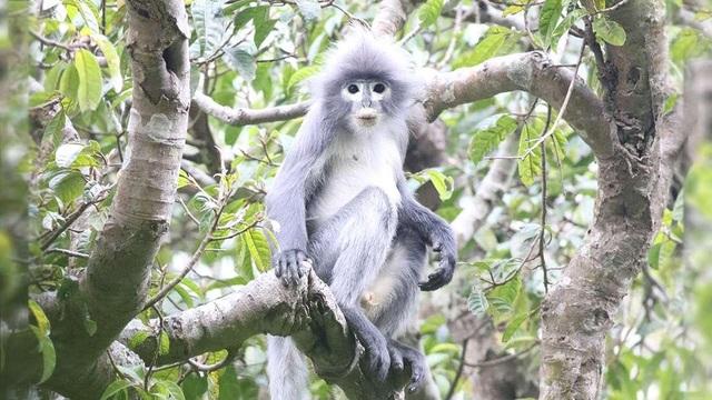 Loài linh trưởng mới được phát hiện ở Myanmar - 1