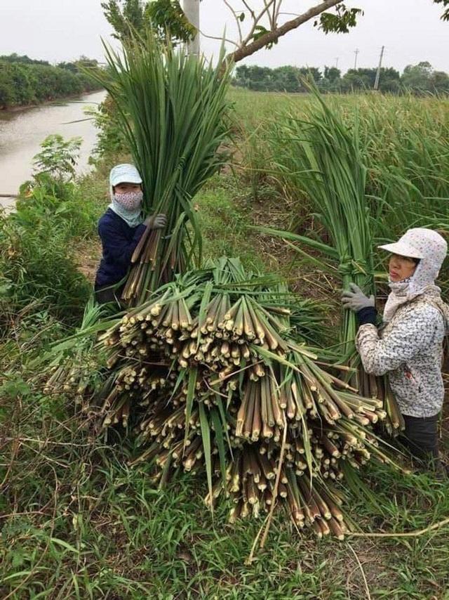 Nam Định: Người trồng niễng thất thu vì rớt giá - 1