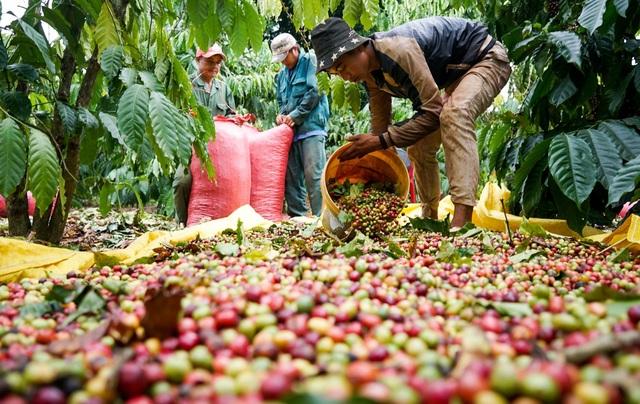 """Giá cà phê, tiêu giảm sâu khiến nông dân và doanh nghiệp """"kiệt quệ"""" - 1"""