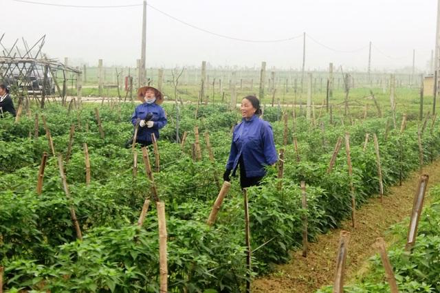 Nông dân xót xa cảnh hoang tàn của vựa rau lớn nhất Hà Tĩnh - 1