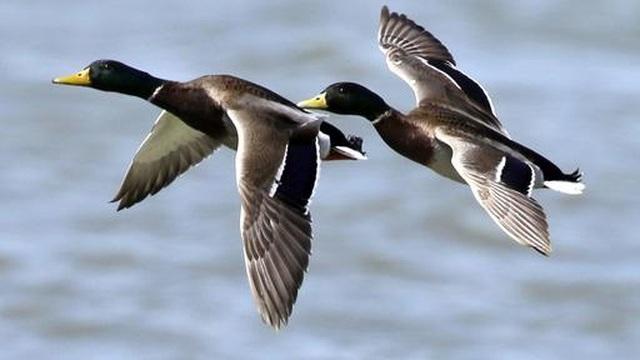 Hàng trăm con chim di cư chết oan vì hạ cánh nhầm lẫn - 1