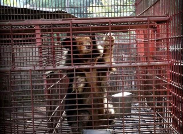 7 cá thể gấu được giải cứu sau gần 20 năm bị nuôi nhốt - 1