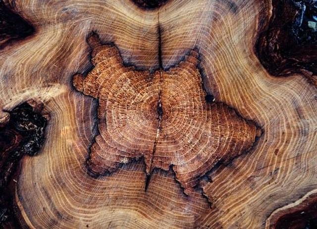 Vòng cây cổ thụ trên Trái đất có thể lưu giữ bí mật của các siêu tân tinh - 1