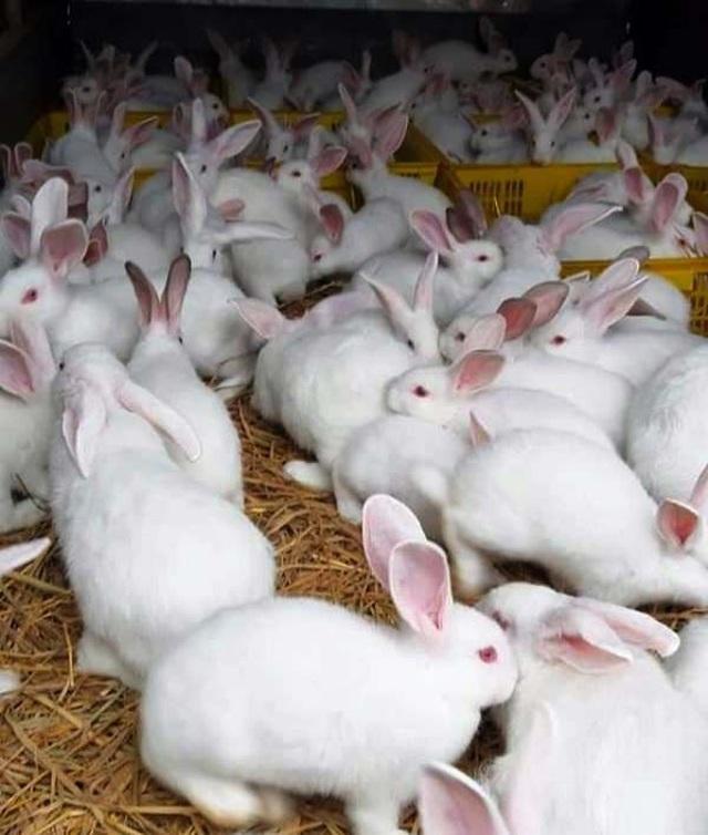 Mỗi năm bỏ túi hơn 500 triệu đồng nhờ nuôi thỏ New Zealand - 6