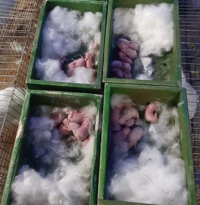 Mỗi năm bỏ túi hơn 500 triệu đồng nhờ nuôi thỏ New Zealand - 3