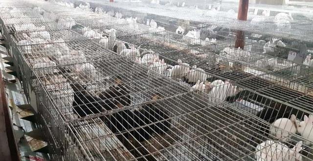Mỗi năm bỏ túi hơn 500 triệu đồng nhờ nuôi thỏ New Zealand - 1