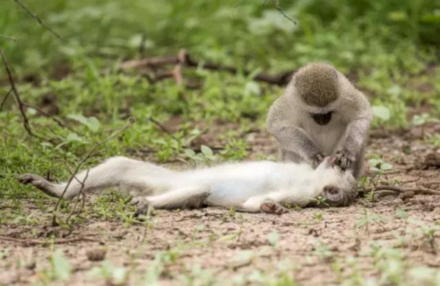 Khoảnh khắc môi kề môi thú vị của khỉ qua ống kính nhiếp ảnh gia - 2