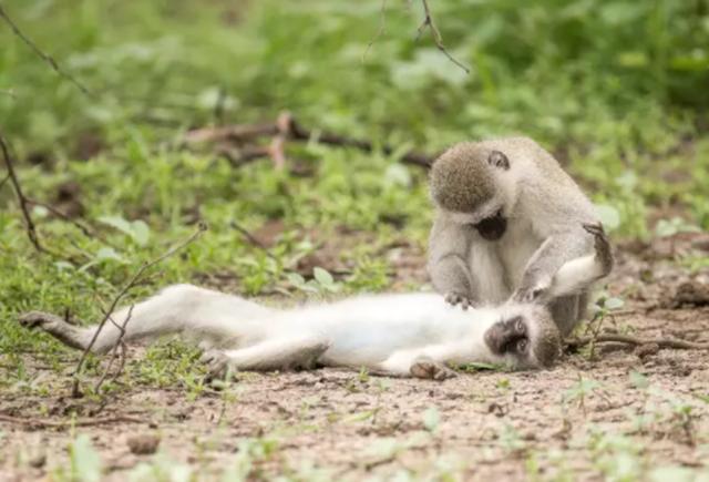 Khoảnh khắc môi kề môi thú vị của khỉ qua ống kính nhiếp ảnh gia - 4