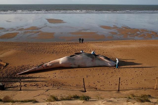 Xác cá voi khổng lồ dài 16m, nặng 10 tấn trôi dạt bờ biển Pháp - 1