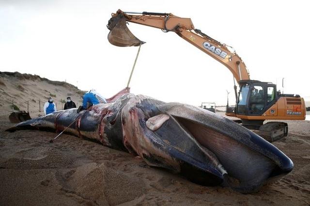 Xác cá voi khổng lồ dài 16m, nặng 10 tấn trôi dạt bờ biển Pháp - 2