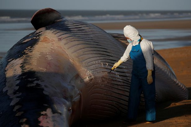 Xác cá voi khổng lồ dài 16m, nặng 10 tấn trôi dạt bờ biển Pháp - 3
