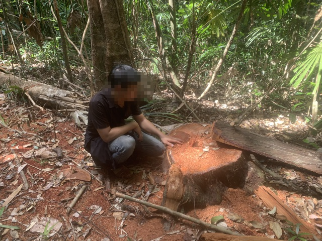 """La liệt cây đại thụ bị """"xẻ thịt"""" giữa rừng xanh, kiểm lâm không hề hay biết - 1"""