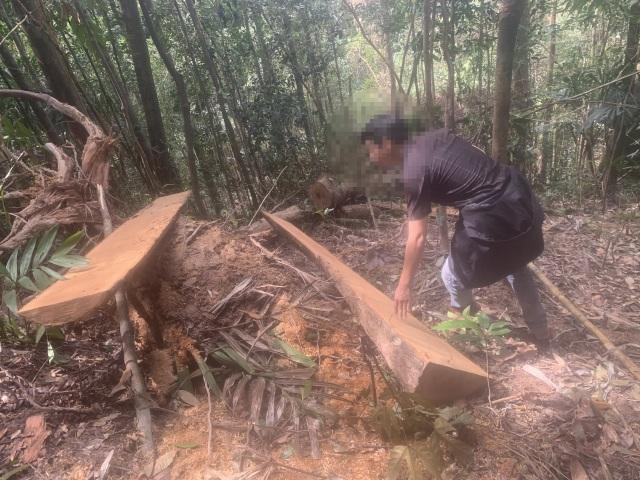 """La liệt cây đại thụ bị """"xẻ thịt"""" giữa rừng xanh, kiểm lâm không hề hay biết - 7"""