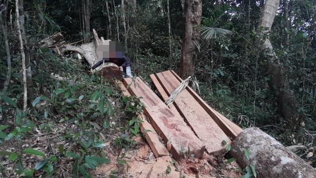"""La liệt cây đại thụ bị """"xẻ thịt"""" giữa rừng xanh, kiểm lâm không hề hay biết - 3"""
