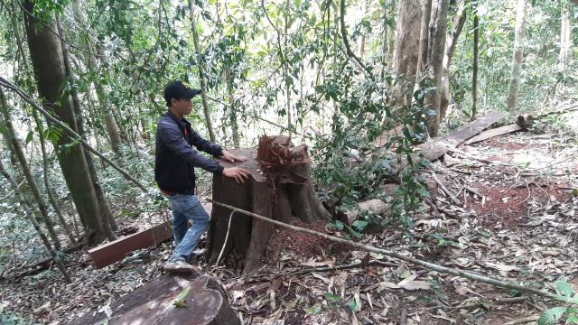 """La liệt cây đại thụ bị """"xẻ thịt"""" giữa rừng xanh, kiểm lâm không hề hay biết - 13"""
