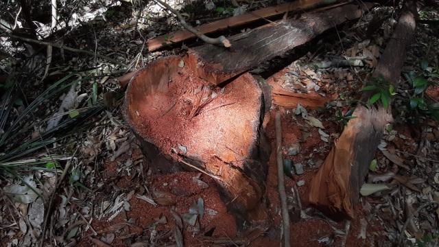 """La liệt cây đại thụ bị """"xẻ thịt"""" giữa rừng xanh, kiểm lâm không hề hay biết - 14"""