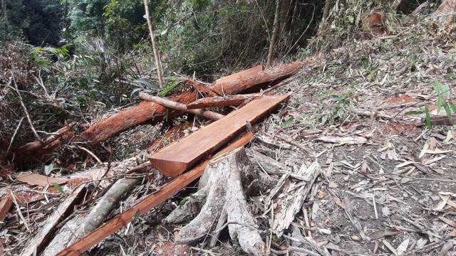 """La liệt cây đại thụ bị """"xẻ thịt"""" giữa rừng xanh, kiểm lâm không hề hay biết - 11"""