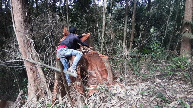 """La liệt cây đại thụ bị """"xẻ thịt"""" giữa rừng xanh, kiểm lâm không hề hay biết - 4"""