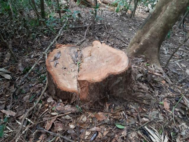 """La liệt cây đại thụ bị """"xẻ thịt"""" giữa rừng xanh, kiểm lâm không hề hay biết - 15"""