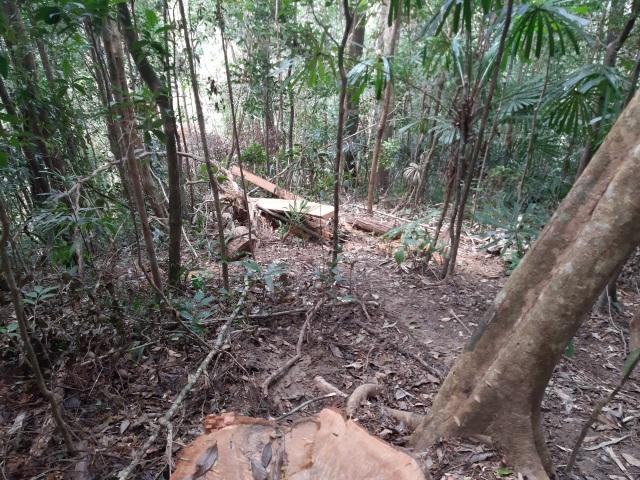 """La liệt cây đại thụ bị """"xẻ thịt"""" giữa rừng xanh, kiểm lâm không hề hay biết - 12"""