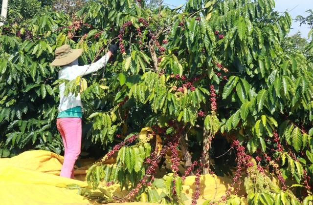 Chi cả chục triệu đồng/vụ, nhiều chủ vườn vẫn thiếu lao động hái cà phê - 2