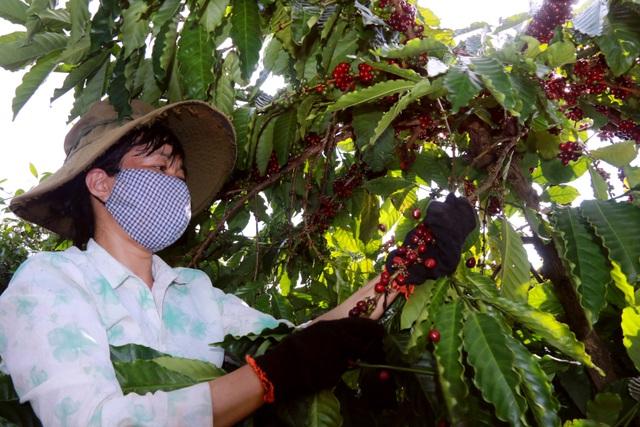 Chi cả chục triệu đồng/vụ, nhiều chủ vườn vẫn thiếu lao động hái cà phê - 1