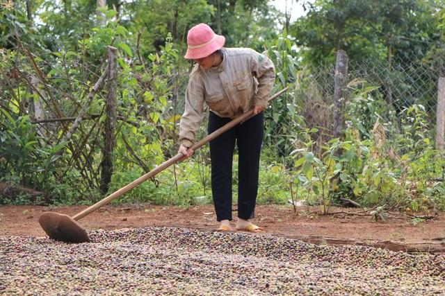 Chi cả chục triệu đồng/vụ, nhiều chủ vườn vẫn thiếu lao động hái cà phê - 4