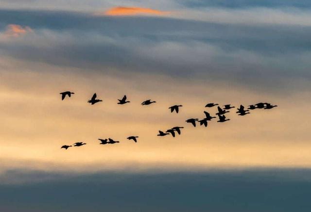 Vì sao loài ngỗng biết cách bay về phương nam trong mùa đông? - 1