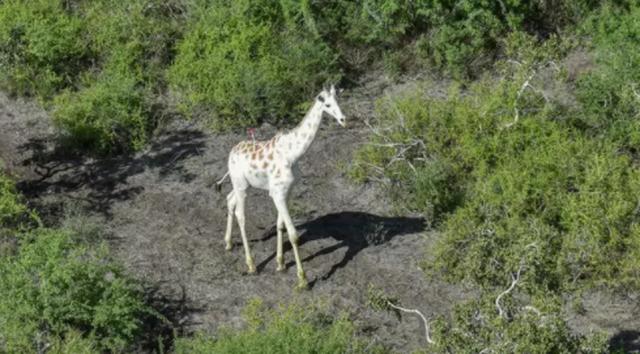 Trang bị máy theo dõi cho con hươu cao cổ trắng cuối cùng trên thế giới - 2