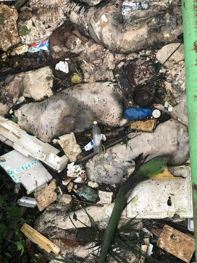 Kinh hãi nhiều xác lợn chết nổi trên sông Hương, ngay gần lò mổ - 1