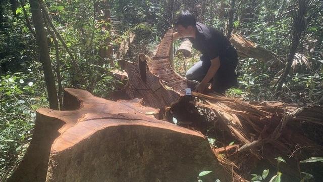 Tỉnh Gia Lai chỉ đạo nóng vụ la liệt cây đại thụ bị đốn hạ giữa rừng xanh - 1
