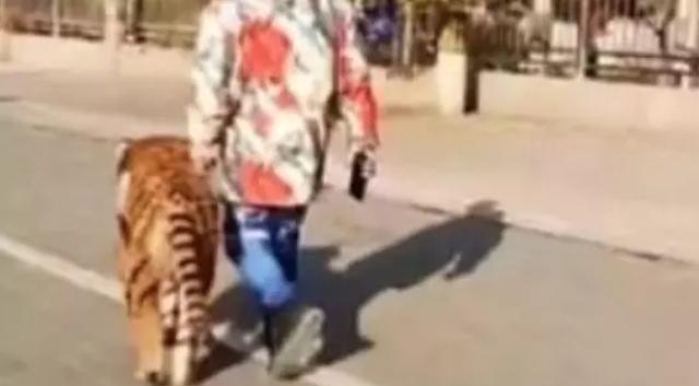 Chó giống hệt hổ tung tăng dạo phố khiến nhiều người giật mình - 1