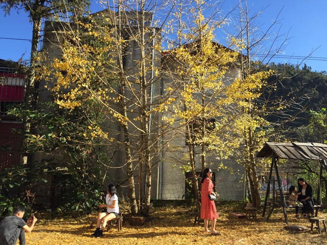 The beautiful golden leaf trees in Sa Pa attract visitors to check-in - 5