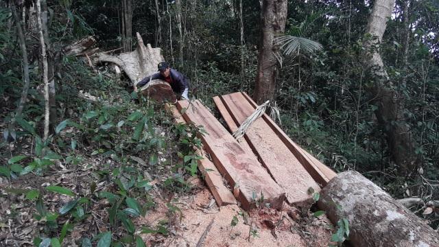 Tỉnh Gia Lai chỉ đạo nóng vụ la liệt cây đại thụ bị đốn hạ giữa rừng xanh - 3