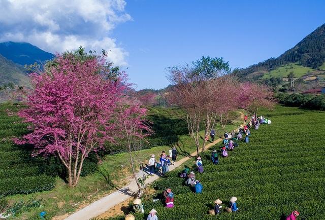 Hoa anh đào Nhật khoe sắc hồng tuyệt đẹp trong nắng thu Sa Pa - 7