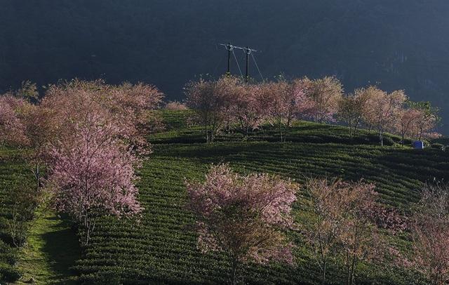 Hoa anh đào Nhật khoe sắc hồng tuyệt đẹp trong nắng thu Sa Pa - 6