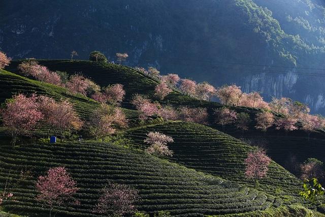 Hoa anh đào Nhật khoe sắc hồng tuyệt đẹp trong nắng thu Sa Pa - 5