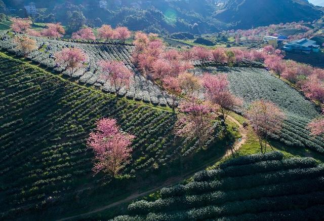 Hoa anh đào Nhật khoe sắc hồng tuyệt đẹp trong nắng thu Sa Pa - 2