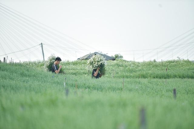 Người Nhật Tân thu bạc triệu mỗi ngày từ cúc họa mi vào mùa - 9
