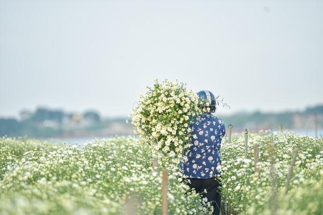 Người Nhật Tân thu bạc triệu mỗi ngày từ cúc họa mi vào mùa - 1