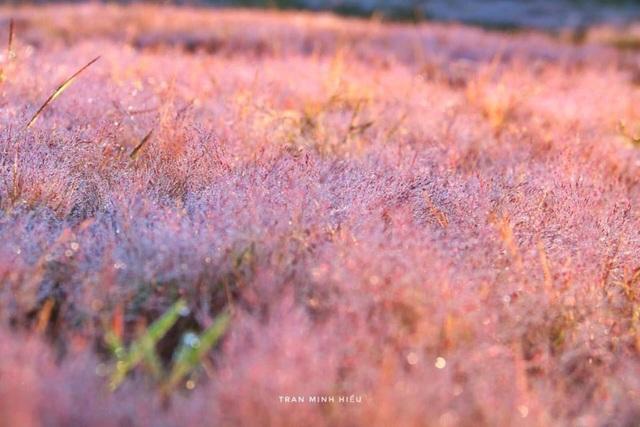 Đẹp như tranh vẽ mùa cỏ hồng Đà Lạt - 3