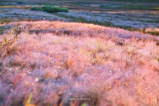 Đẹp như tranh vẽ mùa cỏ hồng Đà Lạt - 1